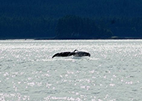 Alaska-Real Whale Watch-Mendenhall-Eagles 215