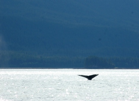 Alaska-Real Whale Watch-Mendenhall-Eagles 216