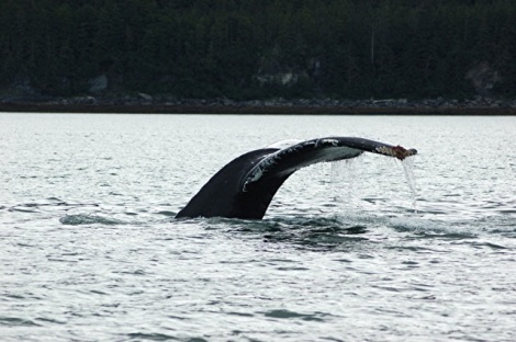 Alaska-Real Whale Watch-Mendenhall-Eagles 239