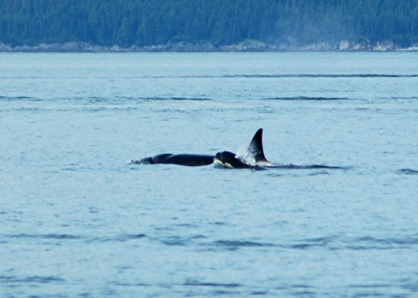 Alaska-Real Whale Watch-Mendenhall-Eagles 268